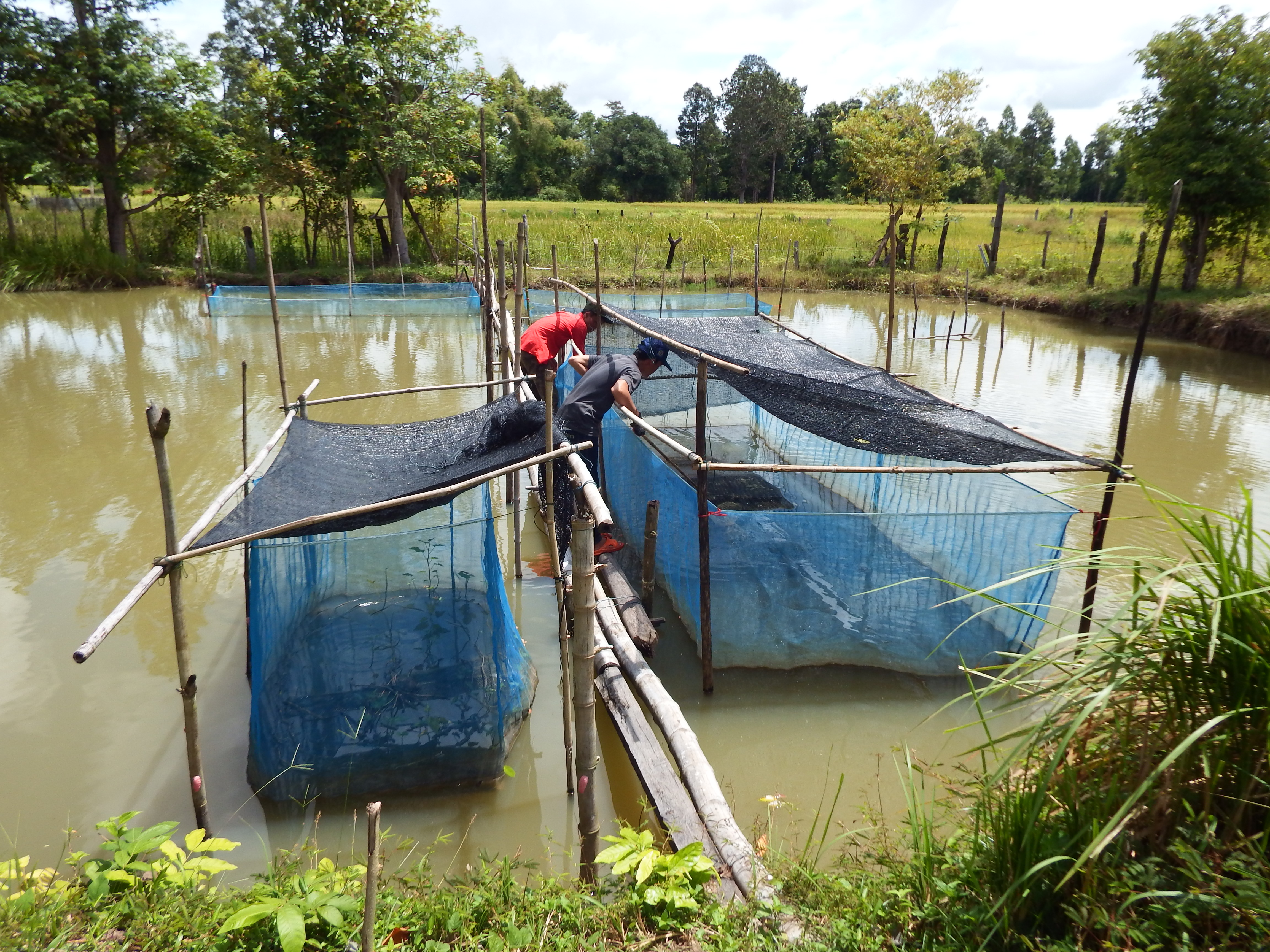 LAOS – A Story of change on rice production – CDAIS
