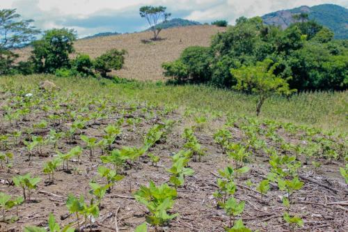 el-cultivo-agrcola-en-guatemala 25038252857 o